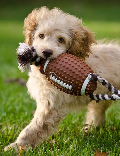 dog with football toy